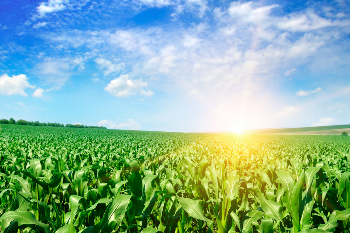 Green corn field and bright sunrise against the blue sky.